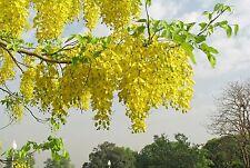 Tree Seed - GOLDEN SHOWER - Cassia Fistula - Amaltas/ Indian laburnum - 15 Seeds