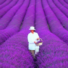 100 PCS Seeds French Provence Lavender Bonsai Organic Plants Flowers Garden NEW