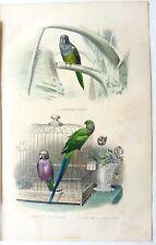 Gravure oiseaux EDOUARD TRAVIES 1848 perruche souris à moustache à collier rose