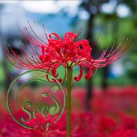Lycoris Radiata Seeds Lily Flowers Perennial Garden Plants Houseplant 100 Pcs