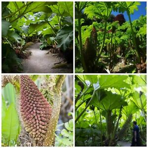 Giant Hardy tropical exotic Gunnera plant! Fresh seeds! Ideal for ponds too!