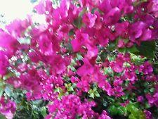 bougainvillea cuttings