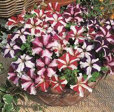 Petunia Starfall MIX Flower Seeds