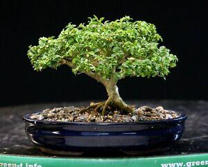 Kingsville Boxwood Bonsai Tree KBM-606H