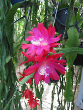 EPIPHYLLUM Orchid Cactus Succulent - Conways EH11 - Cutting (Will Combine Post!)