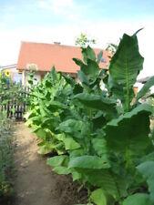3x1000 semillas de tabaco, Virginia, Burley, samsoun