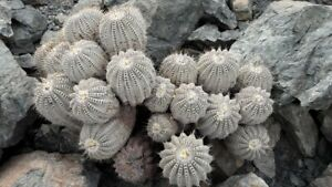 50 (FIFTY) SEEDS of COPIAPOA CINEREA V ALBISPINA, North of Taltal, Chile