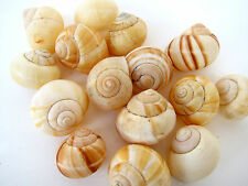 Moon Shells Moonsnails 45mm QTY5 B017 Seashells Psychic Awareness Purification