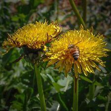 True Dandelion (Taraxacum officinale) Seeds (~50): Certified Organic, Heirloom