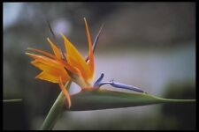 093089 Bird Of Paradise Flower Blooming In The Amazon A4 Photo Print