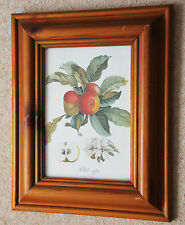 Good botanical print 'Apples' in a solid wood frame
