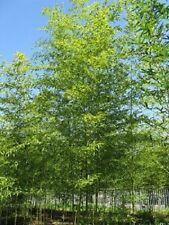 Semiarundinaria fastuosa 'Viridis', cold hardy Temple Bamboo for hedge or screen