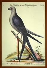 Gravure Ornithologie Oiseau RAPACE L EPERVIER