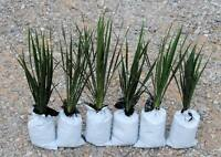 Yucca Plants 6 Large 20-25 inches tall  Landscaping Flowers White ADAMS NEEDLE