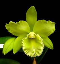 Blc Prada Green'Deluxe', orchid plant shipped in pot