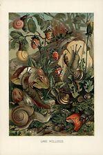 Land Molluscs Snail c.1900 Color Natural History vintage print
