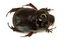 COLEOPTERA, DYNASTINAE, TEMNORHYNCHUS GRANDICORNIS (male) from MADAGASCAR