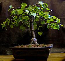 5 X Silver birch Betula pendula winterhardy bonsai trees