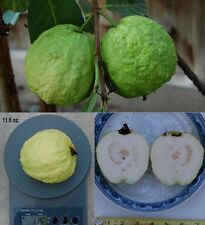 50 Large White Guava sweet fragrance fruit Seeds, 50 Seeds