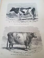 John Kinsley. 1884 Mammals. Dutch and Duram Cows. Antique Book Print Africa.