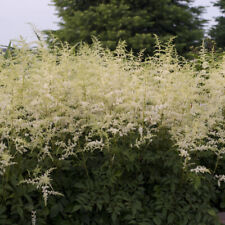 Astilbe Bridal Veil Super Large Bare root plant with multiple buds Awesome