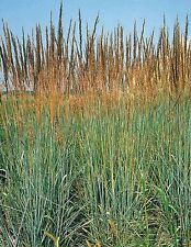 Ornamental Grass Seed:  Indian Grass Seed 100 Seeds  Fresh Seed   FREE SHIPPING
