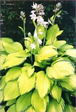 Großpflanze Goldblatt Funkie Hosta Gold Standard goldgelbe Blättern im 20cm Topf