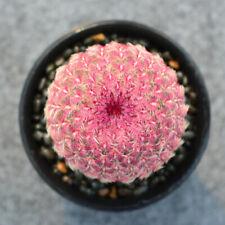 Succulents Cacti 4Cm Cactaceae Echinocereus Rigidissimus Rubispinus Home Garden