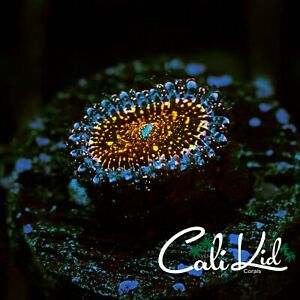 CK Deathstar Paly-zoanthids-live coral