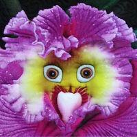 Lots 100PCS Rarest Baby Face Orchid Perennial Flower Seeds Garden Bonsai Decor