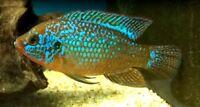 """6 (six) x Hemichromis lifalili """"Blue"""" (West African Cichlid)"""