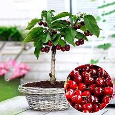 20x Sweet Cherry Seeds Fruit Organic Seed Bonsai Tree Home Garden Plant Seeds