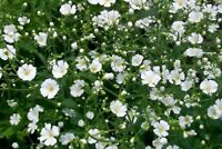 Baby's Breath- (Gyposophila Elegans)- white- 500 Seeds -
