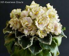 NL-Kniaginia Olga Blatt/ leaf African Violet Usambaraveilchen