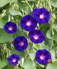 Morning Glory Grandpa Ott Purple Flower Seeds
