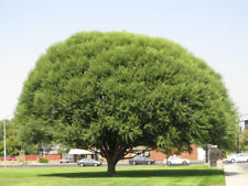 4 Globe Willow Trees - Shade or Privacy Tree - Fast Growing