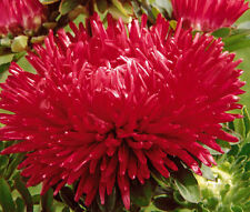 Aster Gremlin Red Double Callistephus Chinensis - 20 Seeds