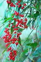 """** """"Heiliger Bambus"""" aus Asien: immergrün und winterhart Zierstrauch Samen."""
