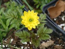 Adonis amurensis Plena  gefülltes Frühlings-Adonisröschen