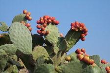 2 -Winter Resistant Prickly Pear Opuntia Cactus EDIBILE EMERGENCY SURVIVIAL FOOD