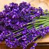 200 PCS Seeds English lavender Bonsai Purple Flowers Plants Vanilla Garden 2019