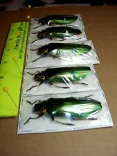 Buprestidae Jewel beetles 5 Lot Adult Megaloxantha bicolor Very Nice specimens