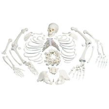 Disarticulated Human Anatomical Skeleton Model with Anatomy Chart - Medical