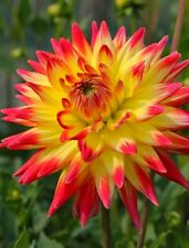 Dahlia Dinnerplate Cactus Type MIXED HYBRIDS Seeds!
