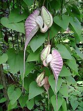 DUTCHMAN'S PIPE VINE -  (Aristolochia grandiflora)  --- 5 Fresh Seeds ---