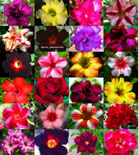 "Adenium Obesum ""identified by color"" 100 Seeds 24 Types"