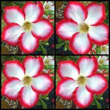 Adenium~Desert Rose 🌺 SUPER NOBILE 🌺 Suit Bonsai~Indoor~10 SEEDS
