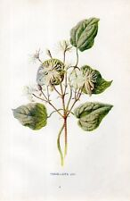 Stampa antica fiori CLEMATIDE Clematis vitalba botanica 1878 Old Print flowers