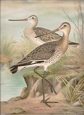 Naumann 1905 Naturgeschichte der Vogel Black-tailed Godwit