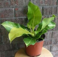 Philodendron Moonlight Green Yellow Large aroid plant